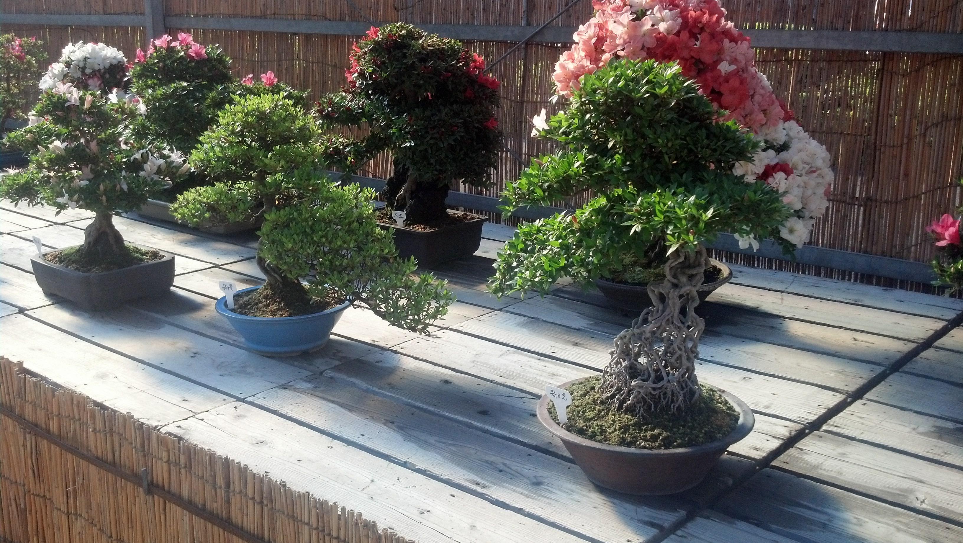 There were many bonsai on display near Nagoya Castle. I love bonsai!